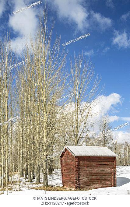Apen trees with an old barn with snow around and sunny day with blue sky in spring season, Gällivare, Swedish Lapland, Sweden