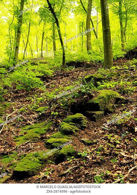 Beech forest (Fagus sylvatica) at Pla de les Plateres site. Springtime at Montseny Natural Park. Barcelona province, Catalonia, Spain