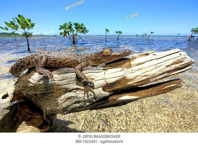 American crocodile (Crocodylus acutus), young, beach, tree stump, resting, Roatan, Honduras, Caribbean, Central America, Latin America