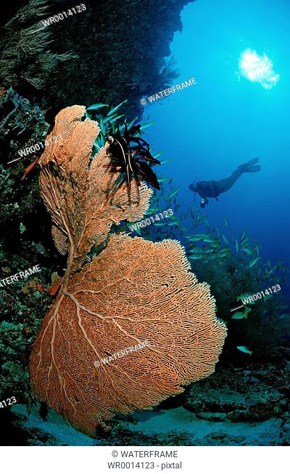 Coral Reef and Diver, Indian Ocean, Maldives Island