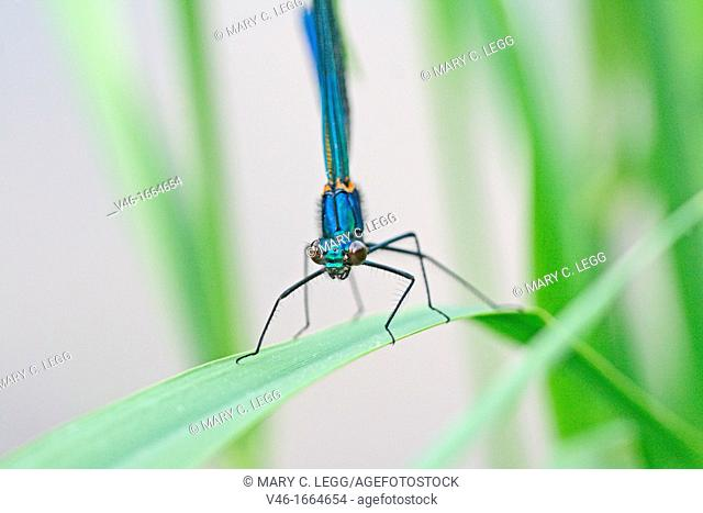Banded Demoiselle, Calopteryx splendens  Male  Metallic midnight blue Radlice, Czech Republic