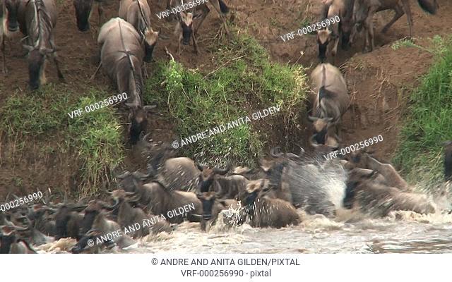Wildebeest ( Conneathus taurinus) herd crossing the Mara river, Serengeti, Tanzania