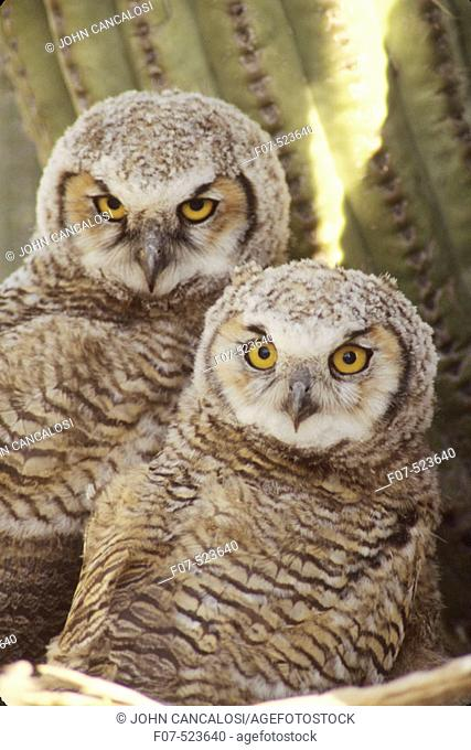 Great Horned Owl Chicks (Bubo virginianus). Arizona. Chick in nest in Saguaro Cactus. A really large owl with ear tufts or 'horns'