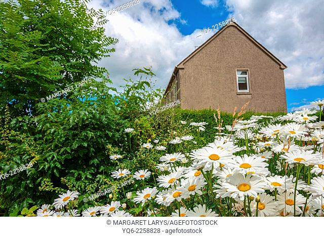 Little pretty detached house and beautiful meadow of daisies, Airdrie Scotland, United Kingdom
