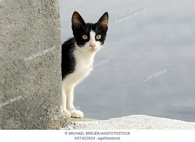 Cat, Santorin, Santorini, Oia, Greece, Cyclades, Cyclades islands