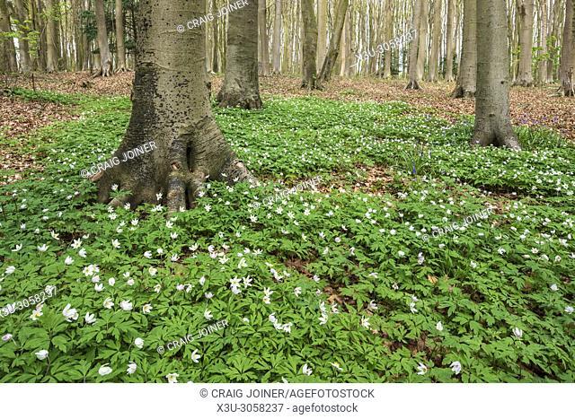 Flowering wood anemones (Anemone nemorosa) on a woodland floor in spring