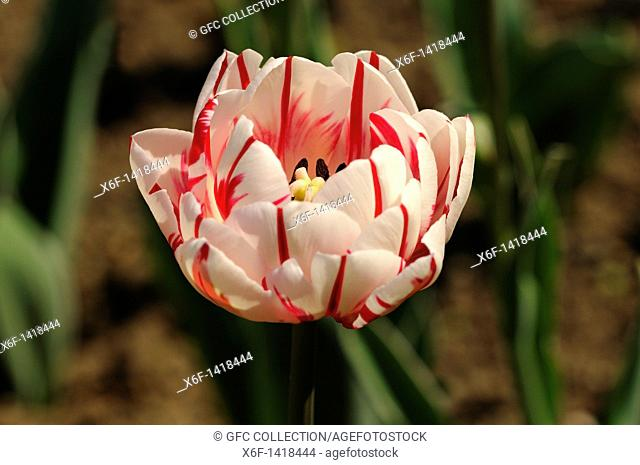 Double lateTulip variety Carnaval de Nice, Dutch Tulips