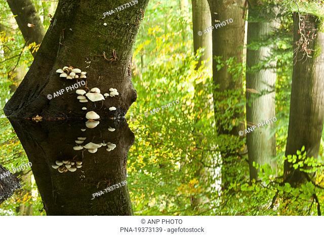 Porcelain fungus Oudemansiella mucida - Leuvenumse Bos, Hierdense beek, Harderwijk, Veluwe, Gelderland, Guelders, The Netherlands, Holland, Europe