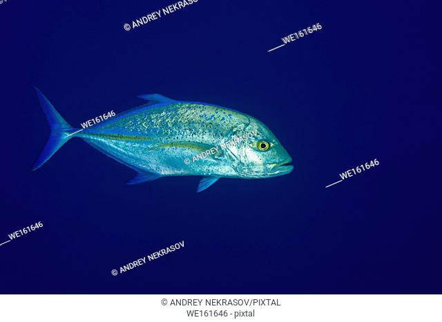 Bluefin trevally (Caranx melampygus) in the blue water. Indian Ocean, Maldives, Asia