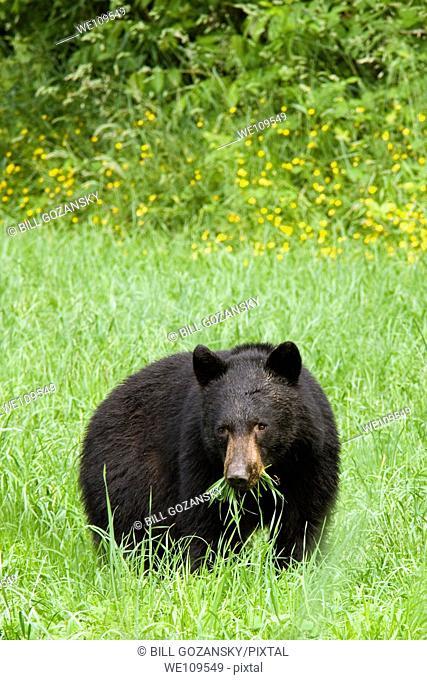 Black Bear - Agassiz, British Columbia