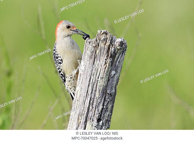 Red-bellied Woodpecker (Melanerpes carolinus) with prey, Florida