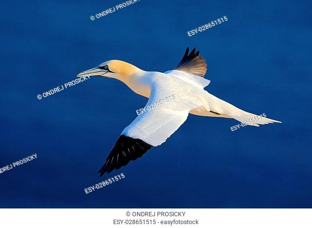 Flying sea bird, Northern gannet