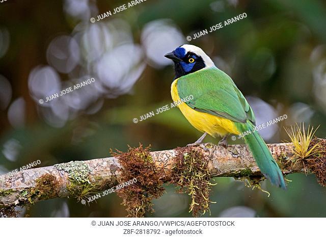 Green Jay (Cyanocorax yncas), cabañas de San Isidro, Ecuador