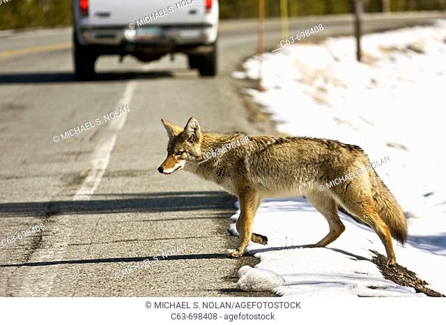 Adult coyote Canis latrans crossing the highway in Yellowstone National Park, Wyoming, USA  Coyotes often follow roadways within the park as an easy travel...