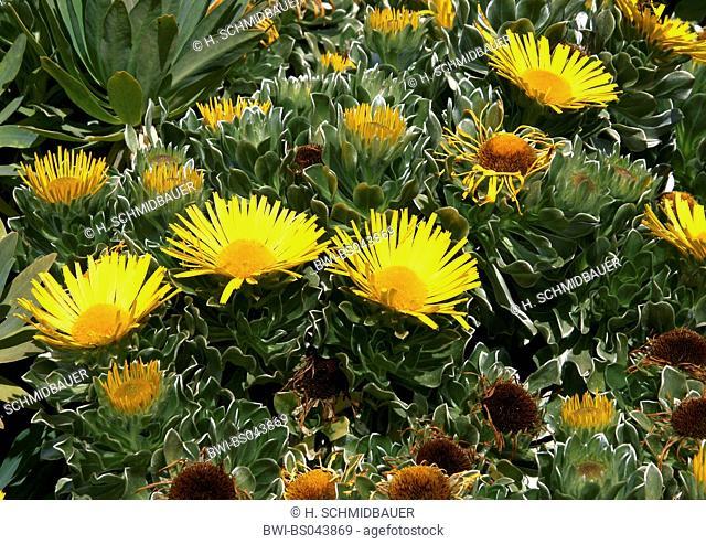 Nauplius (Nauplius sericeus, Asteriscus sericeus), blooming plants, Canary Islands, Tenerife