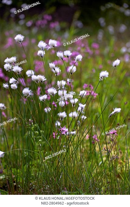 Hare's-tail Cottongrass, Tussock Cottongrass or Sheathed Cottonsedge (Eriophorum vaginatum) and Ragged Robin (Lychnis flos-cuculi) flowering in moory landscape...