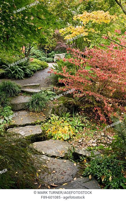 Redvein Enkianthus by stone path w/ Japanese Maples, Hostas (Enkianthus campanulatus; Acer palmatum; Hosta cvs.). Bellevue Botanical Garden, WA