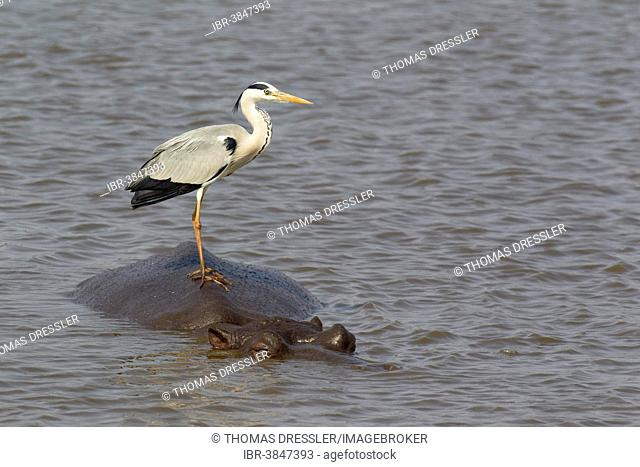 Grey Heron (Ardea cinerea) on the back of a Hippopotamus (Hippopotamus amphibius), Sunset Dam, Kruger National Park, South Africa