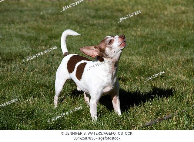 A male chihuahua barking