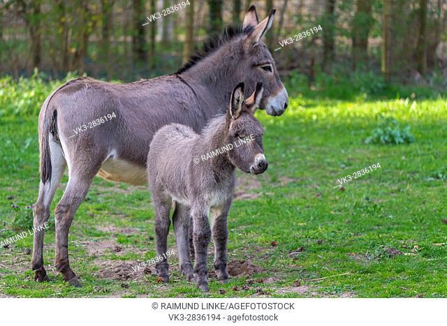 Grey Domestic Donkey, Female with Foal, Hesse, Germany