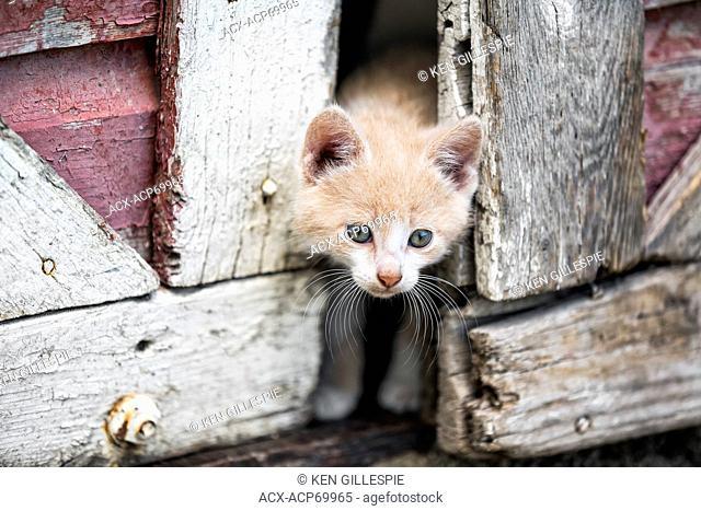 Kitten peeking through barn doors, Manitoba, Canada