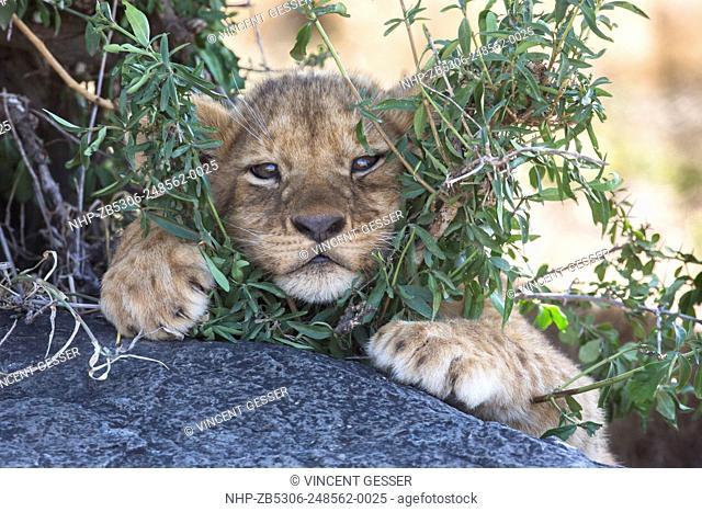 Young lion cub (Panthera leo) watching from between the shrubs, Masai Mara National Reserve, Kenya