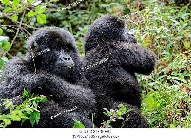 Mountain Gorillas (Gorilla beringei beringei), Nyakagezi gorilla group, Mgahinga Gorilla National Park, Virunga Volcanoes, Kisoro, Uganda, Africa
