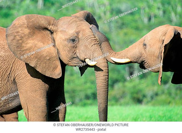 South Africa, Eastern Cape, Western District, Addo Elephant National Park, Two elephants touching each other