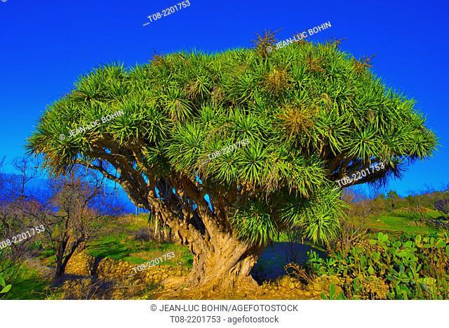 spain,canary islands, la palma : buracas, dragon-tree
