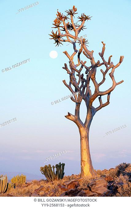 Quiver Tree (Aloe dichotoma) and Moonrise at Fish River Canyon - near Fish River Lodge - Karas Region, Namibia, Africa