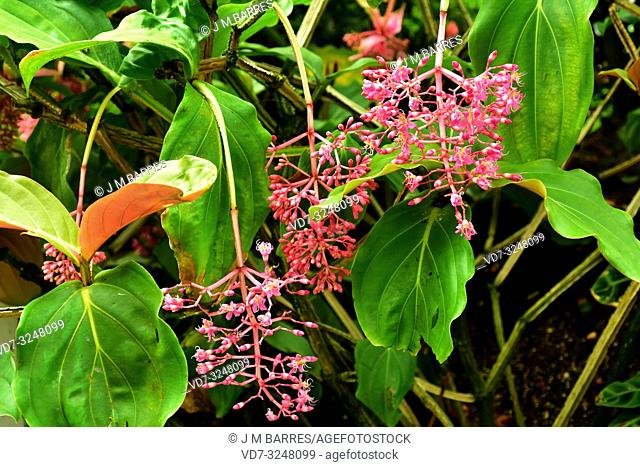 Rose grape or showy medinilla (Medinilla magnifica) is an epiphyte plant native to Philippines. Flowering plant