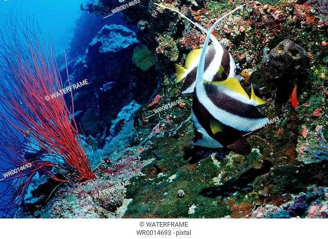 Pair of Longfin Bannerfish, Heniochus acuminatus, Pacific, Micronesia, Palau