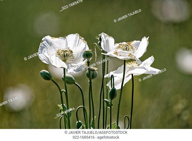 Poppy, Papaver somniferum