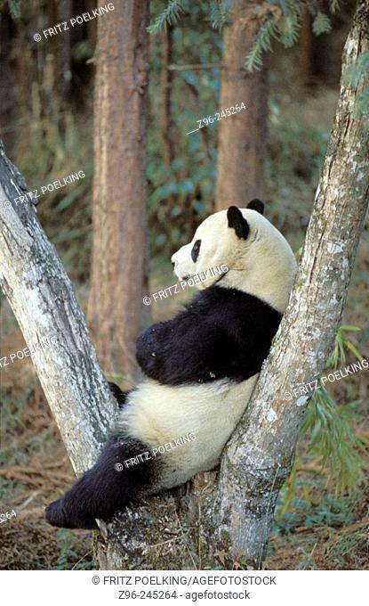 Giant Panda (Ailuropoda melanoleuca) captive at panda centre, Wolong Valley. Himalaya, China
