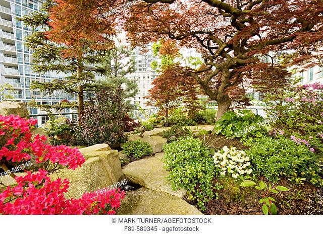 Azalea & Japanese Maple in urban rooftop garden [Rhododendron cv.; Acer palmatum cv.]. Patterson, Vancouver, British Columbia. Canada