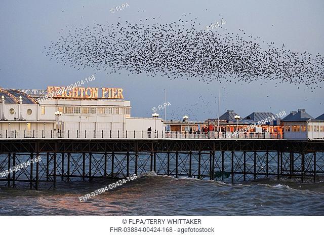 Common Starling Sturnus vulgaris flock, in flight over sea, gathering at evening roost site, Brighton Pier, East Sussex, England