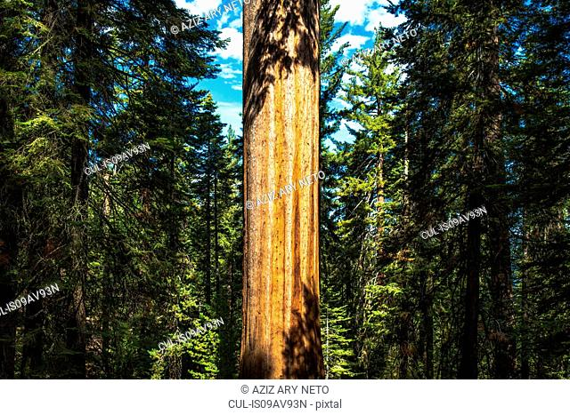 Giant redwood tree trunk in forest, Yosemite national park, California, USA