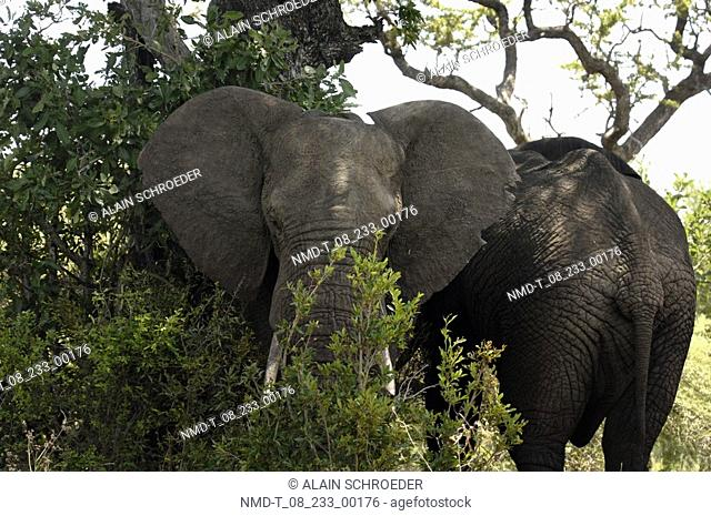 Two African Elephants standing in a forest loxodonta africana, Kruger Park, South Africa