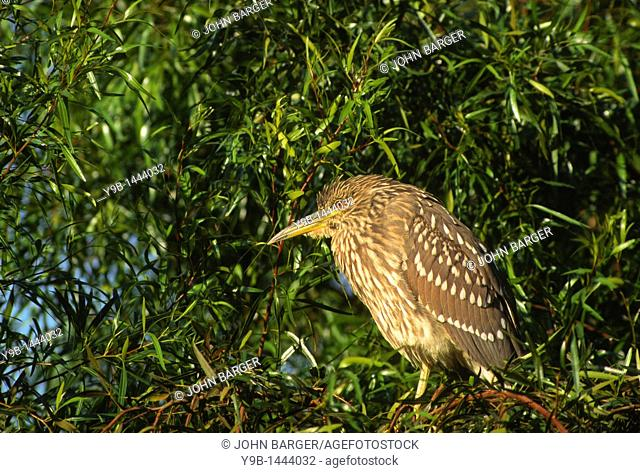 BLACK-CROWNED NIGHT HERON Nycticorax nycticorax immature in tree, southern California, USA