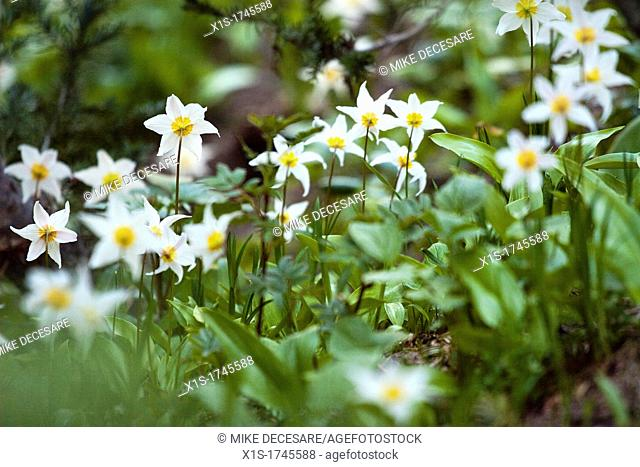 Avalanche lily wildflowers in the Pacific Northwest