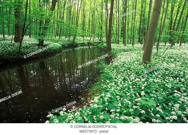 Beech Forest with Ramson (Allium ursinum) in spring, Saxony, Germany