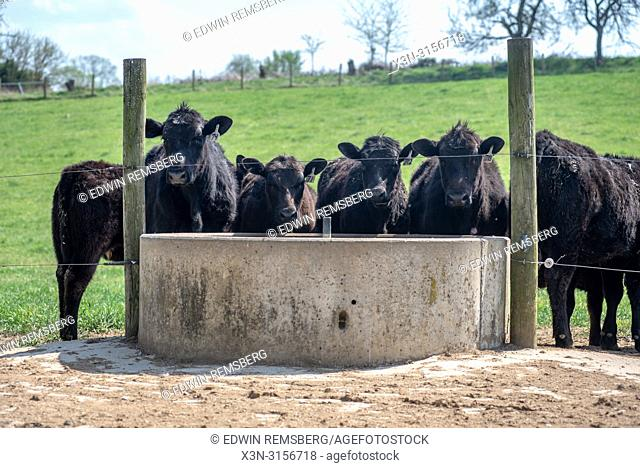 Cattle (Bos taurus) drink from a concrete drinking pad for cattle