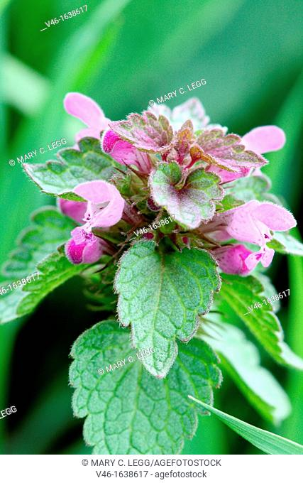 Spotted Deadnettle, Lamium maculatum  Simila to red deadnettle, but the lip of the flower is spotted  Plant varies in color from light pinks to purplish  Tall...