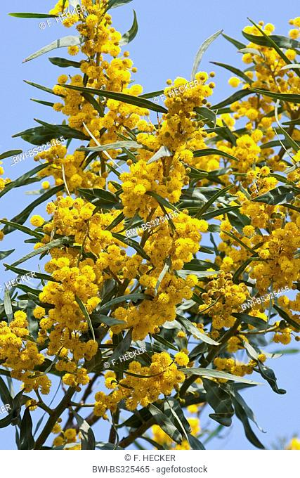 Coojong, Golden wreath wattle, Orange wattle, Blue-leafed wattle, Western Australian golden wattle, Port Jackson willow (Acacia saligna), blooming