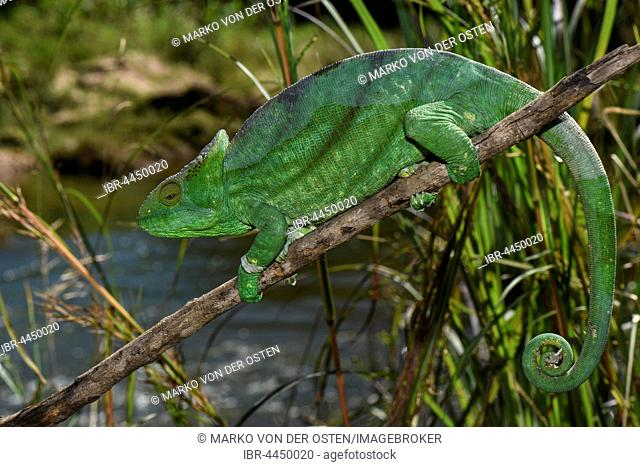 Parson's chameleon (Calumma parsonii parsonii), female, Andasibe National Park, Madagascar