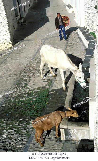 Spain - Countryman with thirsty livestock at a drinking fountain in Capileira in the Alpujarras. The Alpujarras are the southern foothills of the Sierra Nevada...