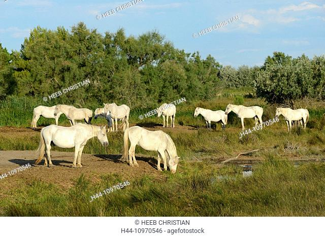 Europe, France, Languedoc- Roussillon, Camargue, horses, white horse, grey horse, animal, Saintes Maries de la Mer