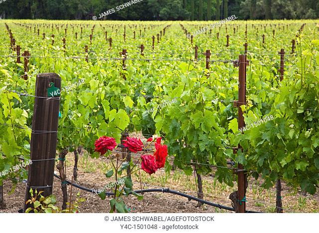 Spring grape vineyards in Napa Valley California