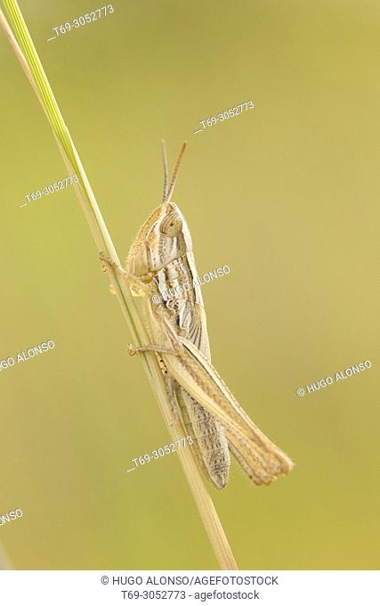 Grasshopper. Tettigonia viridissima. La Rioja. Spain
