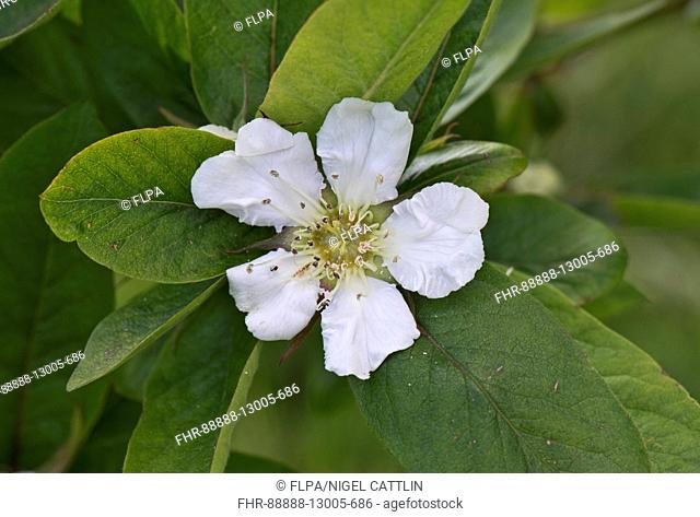 A flower on a medlar tree, Mespilus germanica, an old-fashioned fruit grown in Roman times